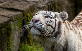 Picture white, look, face, tiger, stones, background, portrait, looking up