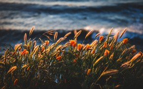 Picture summer, flowers, shore, ears, pond, escholzia