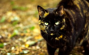 Picture autumn, cat, cat, look, face, leaves, foliage, black, walk, green eyes, bokeh, spotted, motley