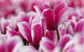 Picture macro, petals, cyclamen