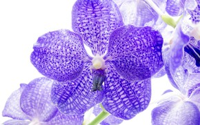 Picture white background, orchids, the color purple