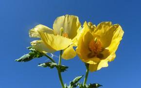 Picture the sky, macro, petals, глауциум жёлтый