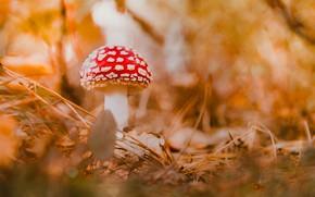 Picture autumn, vegetation, mushroom, Amanita muscaria