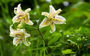 Picture flowers, Lily, garden