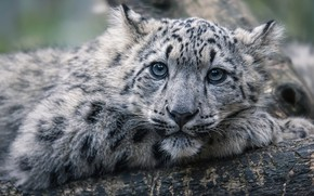 Picture look, face, kitty, portrait, baby, IRBIS, snow leopard, log, cub, bokeh