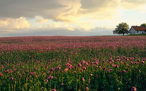 Picture flowers, house, Maki, house, pink, plantation, poppy field
