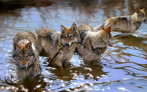 Picture look, water, light, glare, river, figure, graphics, fishing, wolf, predators, fish, pack, picture, branch, bathing, …