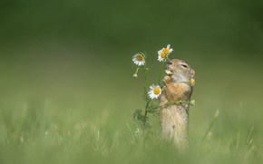 Picture grass, flowers, background, chamomile, gopher, rodent