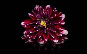 Picture flower, reflection, black background, red, Dahlia, raspberry, Burgundy