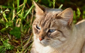 Picture cat, grass, cat, face, portrait, blue eyes, bokeh