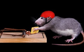 Picture mouse, cheese, mousetrap, black background, helmet, rat, security