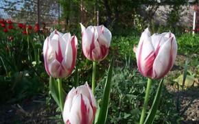 Picture flowers, tulips, speckled, Meduzanol ©
