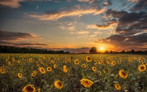Picture field, the sky, clouds, sunflowers, sunset