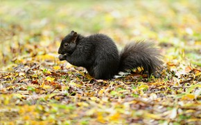 Picture leaves, nature, protein, black, bokeh, Squirrel Black