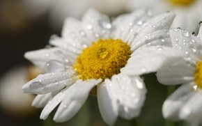 Picture drops, macro, flowers, chamomile, white, leucanthemum
