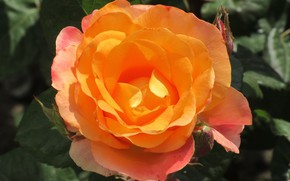 Picture Rose, Flower, Orange, Background, Meduzanol ©, Summer 2018
