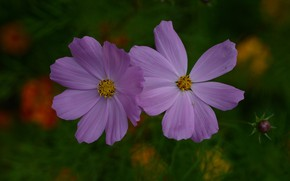 Picture bokeh, cosmos, flowers purple, Purple flowers