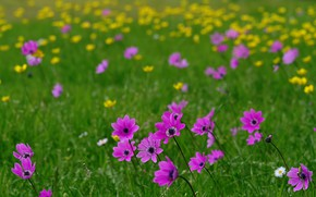 Picture summer, flowers, meadow, bokeh