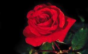 Picture macro, rose, petals, Bud, red, scarlet, black background