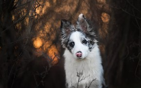 Picture forest, white, look, face, light, branches, nature, the dark background, thickets, portrait, dog, puppy, bokeh, …