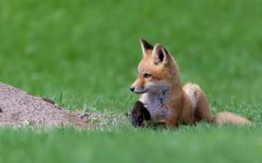 Picture grass, red, Fox, cub, Fox