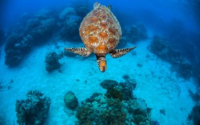 Picture sea, turtle, the bottom, corals, underwater world, under water, sea turtle, sea, swimming