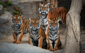 Picture look, tiger, stones, family, log, company, tigers, tigress, the cubs
