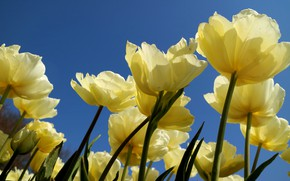 Picture the sky, petals, tulips, yellow