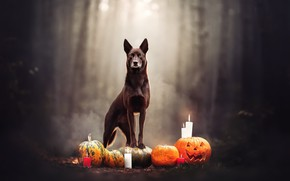 Picture background, dog, Halloween