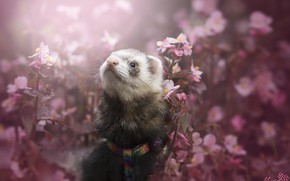 Picture flowers, ferret, by MyosotisPhoto