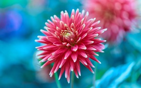 Picture flower, macro, red, Dahlia, blue background, bokeh