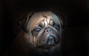 Picture face, portrait, dog, black background, Pug