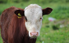 Picture background, face, calf