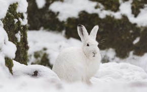 Picture winter, snow, hare, Whitey