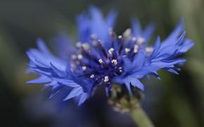 Picture flower, summer, background, cornflower seed