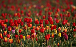 Picture field, flowers, glade, bright, spring, yellow, tulips, red, buds, colorful, a lot, plantation, Tulip