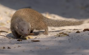 Picture look, animal, sneaks, mongoose, DUELL ©