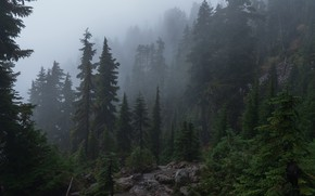 Picture forest, trees, mountains, nature, overcast, slope, haze, USA, coniferous, Mount Ellinor