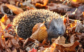 Picture autumn, look, leaves, nature, foliage, hedgehog, hedgehog, autumn, autumn, hedgehog, hedgehog