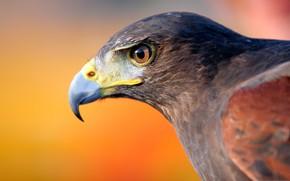 Picture bird, eagle, beak