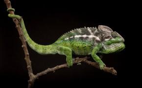Picture chameleon, branch, black background