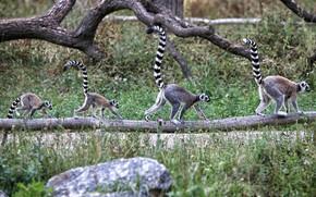 Picture lemurs, tails, funny