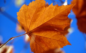 Picture autumn, sheet, maple