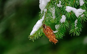 Picture macro, snow, needles, branches, background, bump, the Douglas fir
