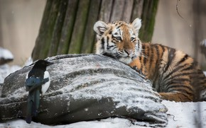 Picture winter, snow, tiger, bird, tiger