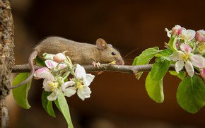 Picture branch, mouse, tail, Apple