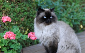 Picture cat, cat, look, face, flowers, nature, Siamese, color-point, ragdoll