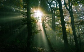 Picture greens, forest, the sun, rays, light, foliage, twilight