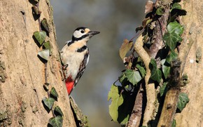Picture leaves, bird, woodpecker