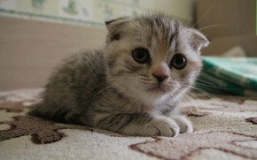Picture look, macro, lies, kitty, shotlandskaya fold, my photo, scottish fold